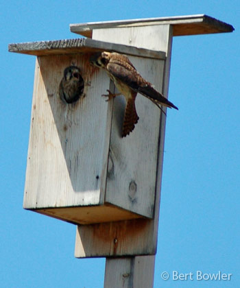 A Home With A View Kestrel Nest Boxes Installed At The