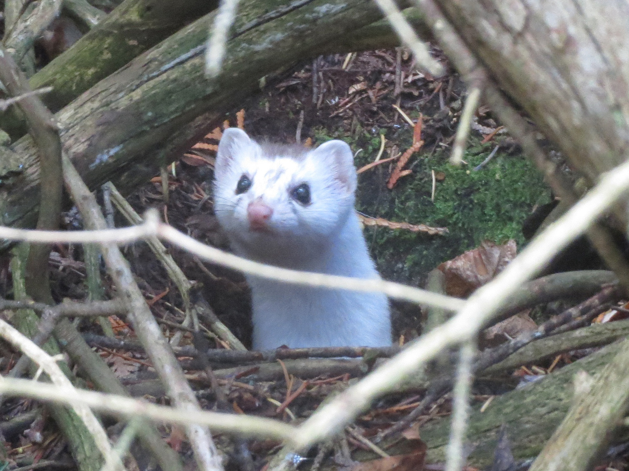 Short-tailed weasel by Nancy Aten