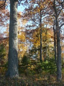Chambers Island Hardwood forest (3)