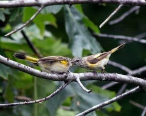 American-Redstart-female-on-right-feeding-youngweb
