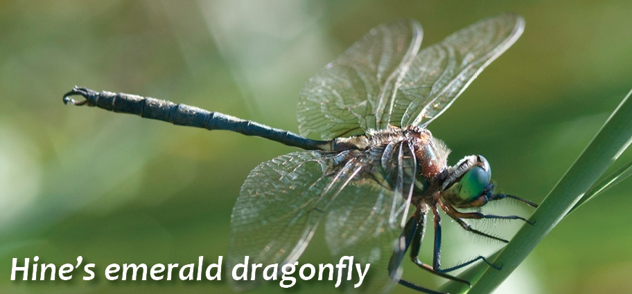 GE-hines-emerald-dragonfly3