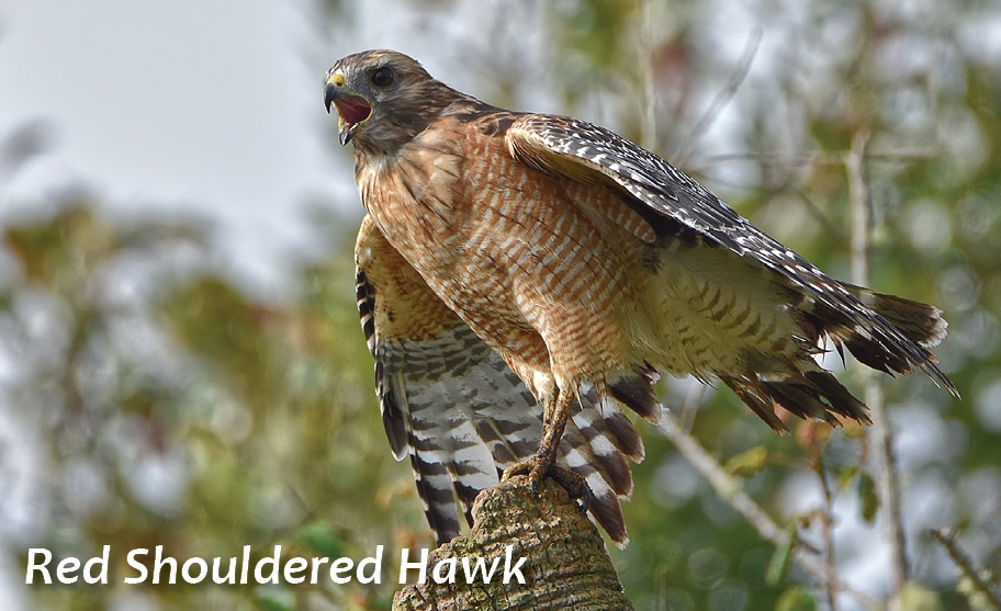 GE-red-shouldered-hawk2