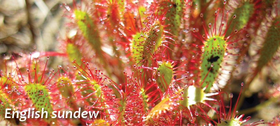 WI-english-sundew