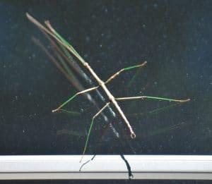 largest walking stick.jpg