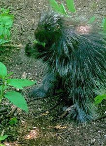 Porcupine on Newport Park trail by Nick Wilder.jpeg