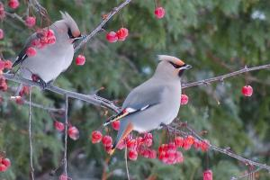 Bohemian-Waxwing-by-Melody-Walsh HDR